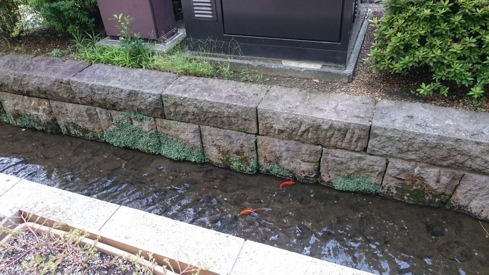 金沢駅付近の金魚